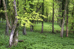 Vibrant lush green Spring forest landscape royalty free stock image