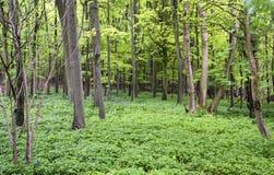 Vibrant lush green Spring forest landscape Stock Images