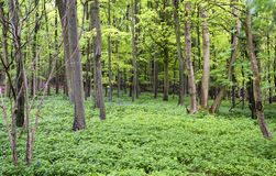 Vibrant lush green Spring forest landscape Stock Photos