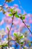 Vibrant magnolia close up. Stock Image