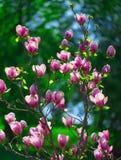 Vibrant magnolia close up. Stock Photography