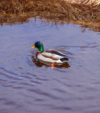 Vibrant mallard duck swimming in calm spring river near bank, pu. Rple reflections off water Royalty Free Stock Image