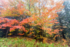 Vibrant Maple Tree Leaves on a Misty Morning. Vibrant maple leaves in a forest landscape on a misty morning during the autumn season Royalty Free Stock Images