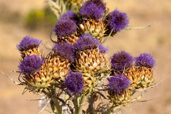 Vibrant milk thistle flowers Stock Images