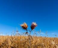 Vibrant milk thistle flowers Stock Photo