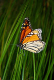Vibrant monarch butterfly Stock Images