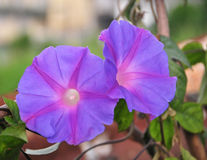 Vibrant morning glory vine is creep on ground Stock Photos
