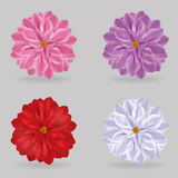 Vibrant multi color lovely chrysanthemum daisy flowers Royalty Free Stock Image