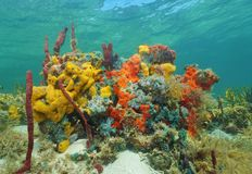 Vibrant multi-colored sea sponges under the water Stock Photography