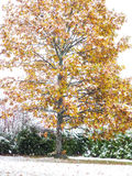 Vibrant oak tree in autumn colors whilst snowing Stock Photo