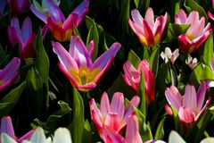 Vibrant opened pink tulips Royalty Free Stock Image