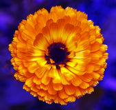 Vibrant Orange flower Royalty Free Stock Images