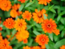 Vibrant orange floweres Royalty Free Stock Photos