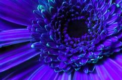 Free Vibrant Orange Gerbera Flower Close-up. In UV Light Royalty Free Stock Photos - 210386318