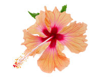 Vibrant orange and pink hibiscus isolated on white royalty free stock photo