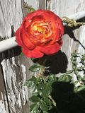 Fiesta Rose stock images