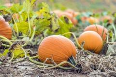 Vibrant orange pumpkin growing on vine in pumpkin patch field Royalty Free Stock Images