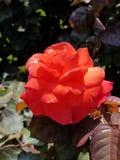 Dramatic orange rose. Vibrant orange rose gorgeous stock photo