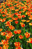 Vibrant Orange Tulips Stock Photography