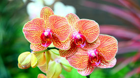 Vibrant Orchids. Beautiful vibrant orchids with colorful background royalty free stock image