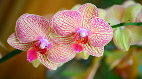 Vibrant orchids. Close up of two vibrant orchids background royalty free stock images