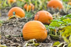 Vibrant ornage pumpkins growing in field, closeup of closest in. Dirt. Halloween, Thanksgiving and autumn image royalty free stock photos