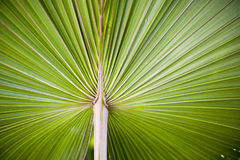 Vibrant palm leaf Royalty Free Stock Image