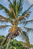 Vibrant palm tree with coconuts. Vibrant, colorful palm with coconuts on the background of blue sky Stock Photography