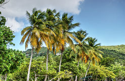Vibrant palm trees. Vibrant, colorful palms on the background of blue sky and clouds at Magens Bay beach, US Virgin Islands Stock Images