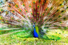 Vibrant peacock Royalty Free Stock Image