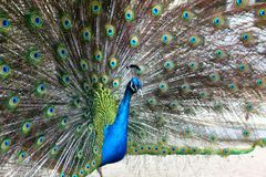 A vibrant peacock strutting. In garden Stock Images