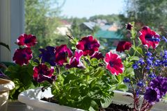 Vibrant petunia flowers in sunny summer day. Small urban garden. On the balcony with view on the roofs of houses royalty free stock photography