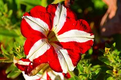 Vibrant petunia. A petunia red and white in color taken in an flower garden Stock Photos