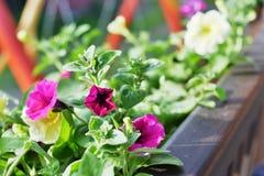Vibrant  petunias Stock Photos