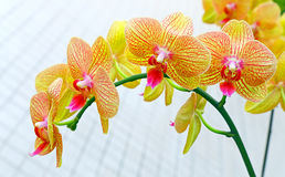 Vibrant  phalaenopsis orchids Royalty Free Stock Image