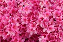 Vibrant pink azalea bush. In full bloom Stock Image