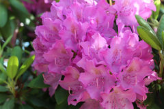 Vibrant pink azaleas. In full bloom against a backdrop of green leaves Royalty Free Stock Photo