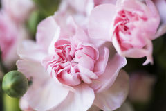 Vibrant Pink Carnations. Royalty Free Stock Photos