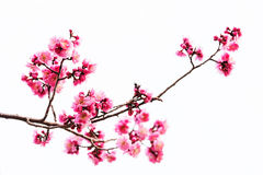 Vibrant Pink cherry blossom or sakura Royalty Free Stock Photography