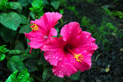 Pink china rose with water drops close-up. stock images