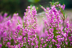 Vibrant pink common heather Stock Photo