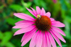 Purple coneflower, Echinacea purpurea, with bee collecting pollen Stock Photos