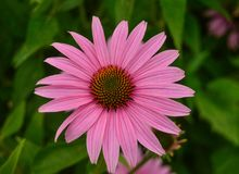 Pink coneflower in the garden. A vibrant pink coneflower growing in a flower garden Royalty Free Stock Photos