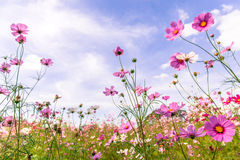 Vibrant pink cosmos blooming with blurred natural field farmland Royalty Free Stock Photo