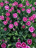 Vibrant pink dianthus flowers. A field of vibrant pink with white dianthus flowers in bloom during early summer Stock Image