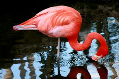 Vibrant pink flamingo drinking Stock Photos