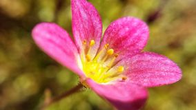 Vibrant pink flower with golden pollen center. In summer sunshine macro photo stock photography