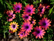 Vibrant pink flowers blooming in a garden in Victoria Royalty Free Stock Photo