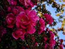 Vibrant pink flowers blooming on a spring day. Beautiful, pretty royalty free stock images