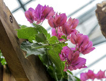 Vibrant pink flowers growing on wooden arbor inside a greenhouse. Fresh and natural Stock Images